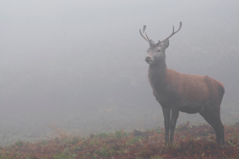 Deer in the mist at Bradgate Park, Leicestershire.