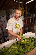 Farm worker washing spinach.