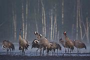 Common cranes (Grus grus) in their roosting site preening while standing on recultivated peat field, Kemeri National Park (Ķemeru Nacionālais parks), Latvia Ⓒ Davis Ulands | davisulands.com