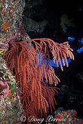 red whip coral or bushy sea whip ( gorgonian coral), <br /> Nicella schmitti., Bahamas, <br /> ( Western Atlantic Ocean )