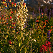 This image taken between highway 88 (Carson Pass) and Round Top peak near lake Winnemucca in the El Dorado National Forest, CA. The picture was taken mid summer the flowers are crimson columbine and corn lily.