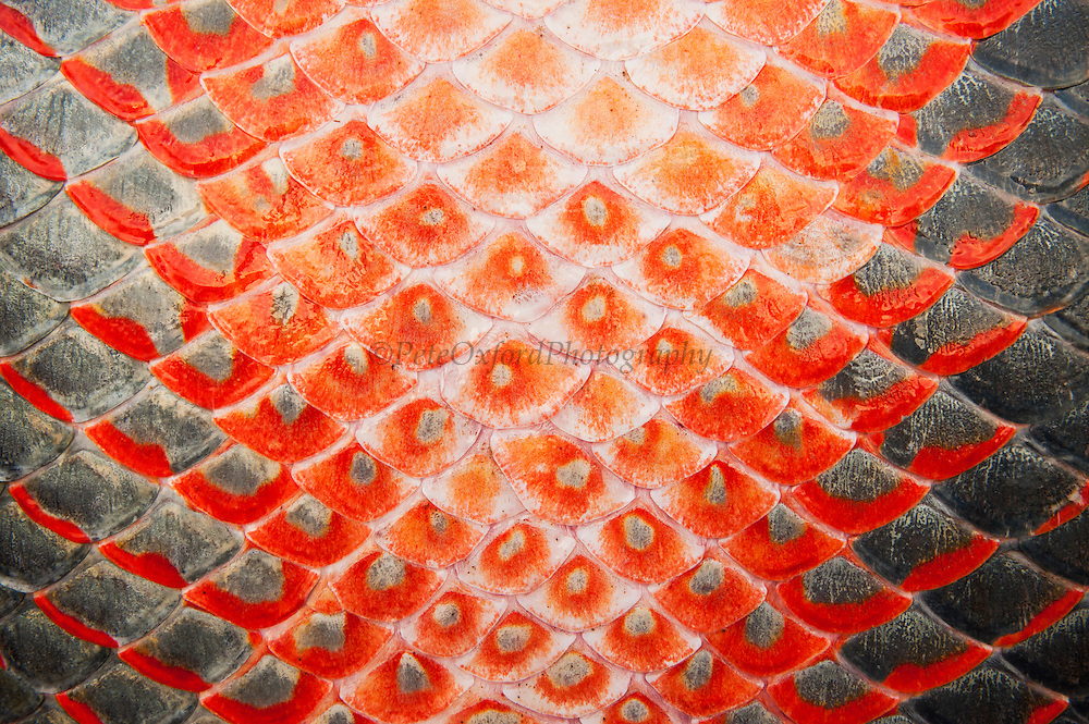 Arapaima (Arapaima gigas) Skin detail. Harvest on quota<br /> A South American tropical Fish that is one of the largest in the world.<br /> Rupununi<br /> GUYANA<br /> South America