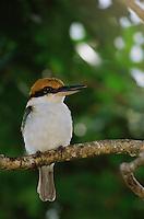Micronesian kingfisher (Todiramphus cinnamominus pelewensis) formally known as Halcyon cinnamomina) is endemic to Micronesia.  .Koror, Republic of Palau.  Dec 01.
