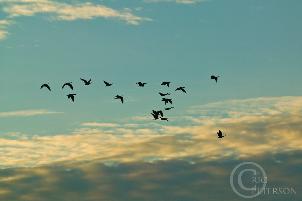 silouette of geese in flight at sunset