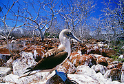 Blue-footed Booby bird on Galapagos Islands, Ecuador
