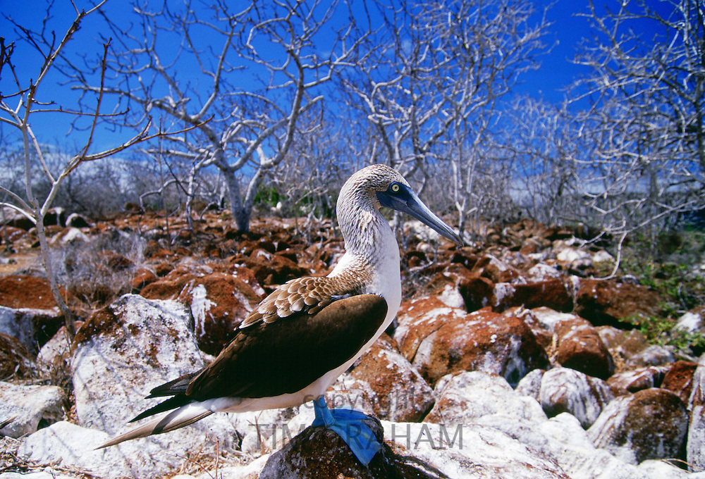 Blue-footed Booby bird on Galapagos Islands, Ecuador