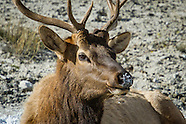 Yellowstone Wolf & Elk Expedition