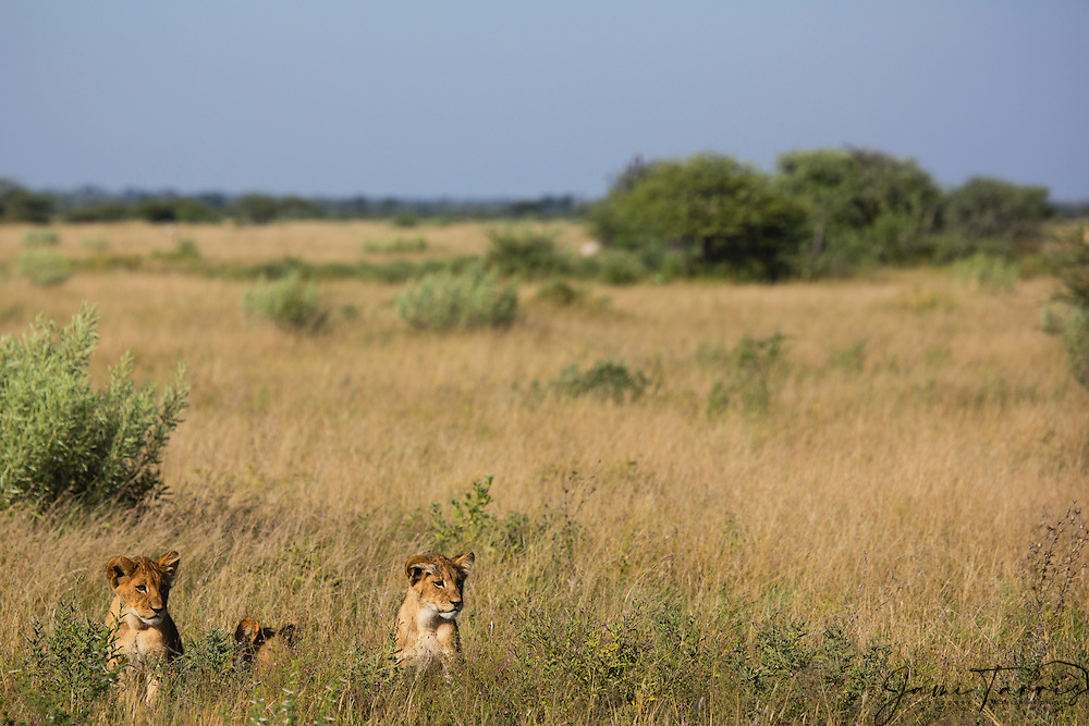 Three young lion cubs (Panthera leo) waiting for the return of their mother in the tall grass of the Kalahari during the wet season,Kalahari, Botswana, Africa