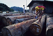 LOGGING, TIMBERYARD, MALAYSIA. Sarawak, Borneo, South East Asia. Tropical rainforest and one of the world's richest, oldest eco-systems, flora and fauna, under threat from development, logging and deforestation. Home to indigenous Dayak native tribal peoples, farming by slash and burn cultivation, fishing and hunting wild boar. Home to the Penan, traditional nomadic hunter-gatherers, of whom only one thousand survive, eating roots, and hunting wild animals with blowpipes. Animists, Christians, they still practice traditional medicine from herbs and plants. Native people have mounted protests and blockades against logging concessions, many have been arrested and imprisoned.