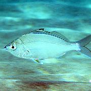 Caribbean Mojarra