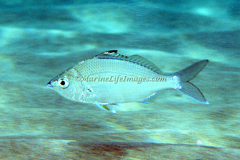 Flagfin Mojarra hover over shallow sand and seagrass beds in Florida and Caribbean; picture taken St. Lucia.