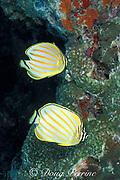 ornate butterflyfish, Chaetodon ornatissimus, Whitetip Ridge, Sipadan Island, off Borneo, Malaysia ( Celebes Sea )
