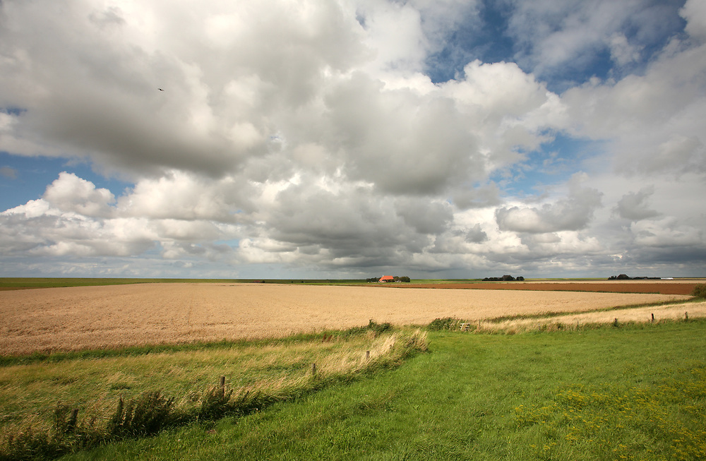 Grain field in the northern part of the Netherlands // Graanveld in het noorden van Friesland (Het Bildt) vlakbij de Waddenzeedijk.