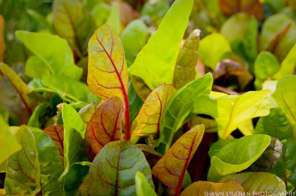 Organic wild lettuce, Pine Knot Farm, NC
