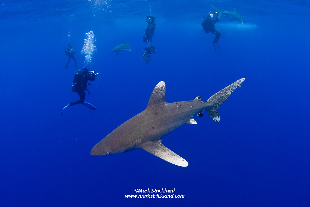 A trio of Oceanic White-tip sharks, Carcharhinus longimanus, meander among underwater photographers as they investigate a scent trail created by crates of fish parts, suspended on a line from the surface.  Bahamas, Atlantic Ocean