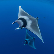 Palawan - Mobulid Rays