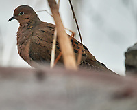 Mourning Dove (Zenaida macroura). Image taken with a Nikon D5 camera and 600 mm f/4 VR lens