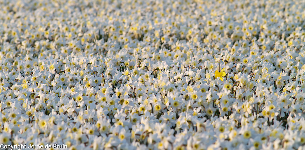 A field of white daffodils with one yellow daffodil on the Island of Texel, the Netherlands.