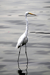May 3, 2019 - Ajmer, India - Egret inside the Anasagar lake in Ajmer, Rajasthan, India on 04 May 2019. (Credit Image: © Str/NurPhoto via ZUMA Press)