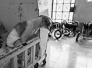 Lupo, paralyzed after being hit by a car, peers out from his crib at the Milagros Perrunos shelter in Lima, Peru.