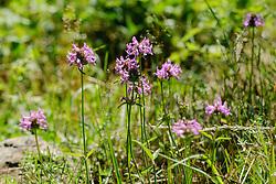 Betonie, Stachys officinalis