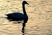 Whooper swan, Cygnus cygnus, floating, swimming on water, backlight by setting sun, silhouette, lake Kussharo-ko, Hokkaido Island, Japan, japanese, Asian, wilderness, wild, untamed, ornithology, snow, graceful, majestic, aquatic.