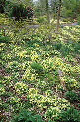 A carpet of Primula vulgaris - primroses - in the woodland area at The Dingle, Powis