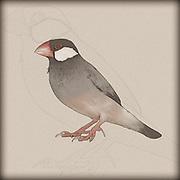 Digitally enhanced image of a Java sparrow (Lonchura oryzivora),
