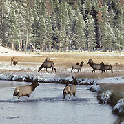 Elk (Cervus canadensis) bull in rut chasing cows across a river during the fall in Wyoming.