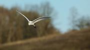 Great Egret (Ardea alba) flying at Baskett Slough National Wildlife Refuge.