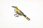 The Eurasian golden oriole (Oriolus oriolus) or simply golden oriole, is the only member of the oriole family of passerine birds breeding in Northern Hemisphere temperate regions. It is a summer migrant in Europe and western Asia and spends the winter season in central and southern Africa. 18th century watercolor painting by Elizabeth Gwillim. Lady Elizabeth Symonds Gwillim (21 April 1763 – 21 December 1807) was an artist married to Sir Henry Gwillim, Puisne Judge at the Madras high court until 1808. Lady Gwillim painted a series of about 200 watercolours of Indian birds. Produced about 20 years before John James Audubon, her work has been acclaimed for its accuracy and natural postures as they were drawn from observations of the birds in life. She also painted fishes and flowers.