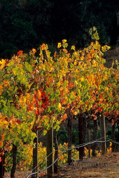 Grape vines at Hanna Vineyards, Alexander Valley, Sonoma County, California