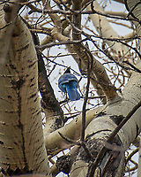 Steller's Jay. Rocky Mountain National Park, Colorado. Image taken with a Nikon D200 camera and 18-200 mm lens.