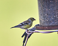 American Goldfinch. Image taken with a Nikon D5 camera and 600 mm f/4 VR lens (ISO 1000, 600 mm, f/4, 1/1250 sec).