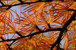 larix Herfstblad, Autumn leave