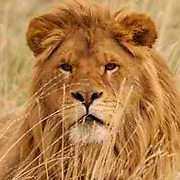 African Lion, (Panthera leo) Male in grass.  Captive Animal.