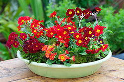 Hot coloured primulas planted in a green dish