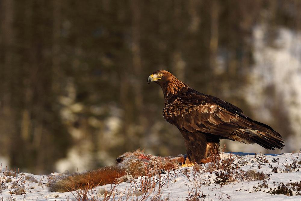 Golden eagle, Aquila chrysaetos, subadult individual, eating on a dead fox, Flatanger, Nord-Tröndelag, Norway