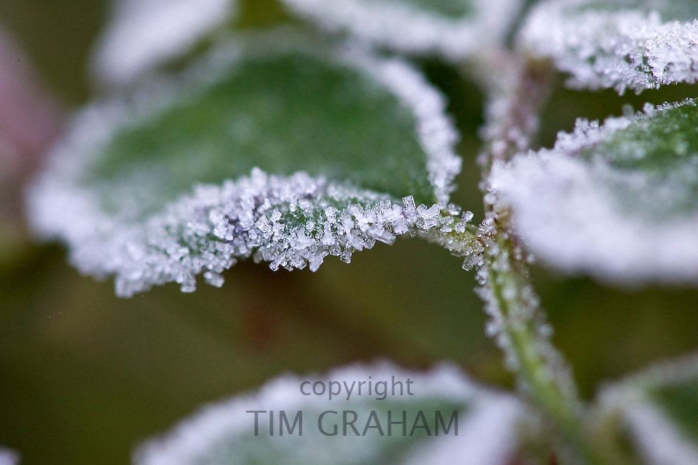 Hoar frost covered Briar Rose leaves, Oxfordshire, UK