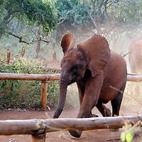 Africa, Kenya, Nairobi. Orphaned baby elephant running to eat at David Sheldrick's Wildlife Trust.