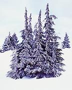 Mountain Hemlocks, Tsuga mertensiana, with winter rime, deep snow along the western rim of Crater Lake, Crate Lake National Park, Oregon.