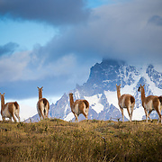 Guanacos (lama guanicoe) grazing with Cuernos del Paine peaks in the background.