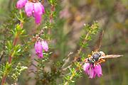 Purbeck mason wasp (Pseudepipona herrichii) nectaring on bell heather (Erica cinerea). Dorset, UK.