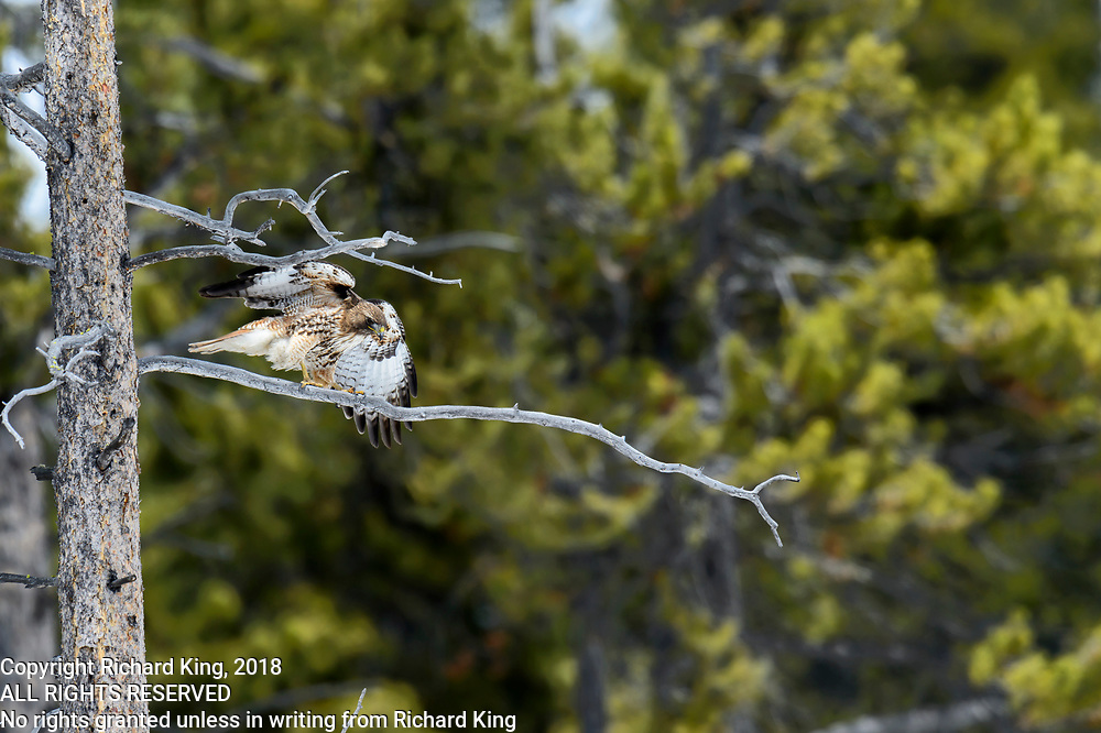 Birding photography from Yellowstone National Park, WY, USA
