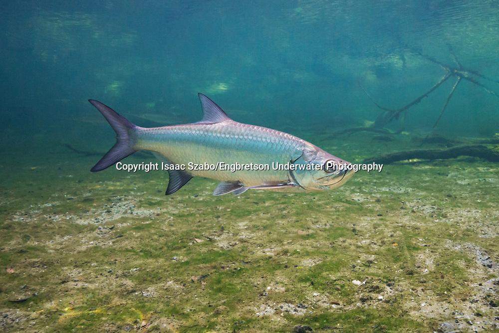 Atlantic Tarpon<br /> <br /> Isaac Szabo/Engbretson Underwater Photography