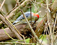 Red-bellied Woodpecker (Melanerpes carolinus). Image taken with a Fuji X-T3 camera and 100-400 mm OIS telephoto zoom lens.