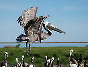 Flying Pelican landing on rookery in Chesapeake Bay