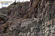Mountain goats on cliffs at Swiftcurrent Pass in Glacier National Park, Montana, USA