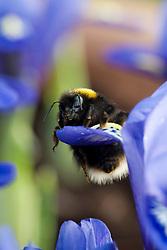 Bumble bee on Iris reticulata - winter flowering iris