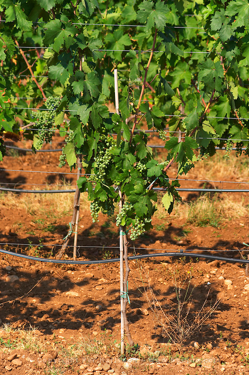 Vines in the vineyard. Vines equipped with black rubber or plastic tubes for artificial irrigation watering. The vine training pruning method is actually a mix between Cordon de Royat and Guyot according to the vineyard manager. Vranac grape variety. Typical red reddish clay sand sandy soil mixed with pebbles rocks stones in varying amount. Hercegovina Vino, Mostar. Federation Bosne i Hercegovine. Bosnia Herzegovina, Europe.